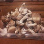 菌床しいたけテスト栽培